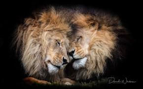 Картинка чувства, львы, гривы