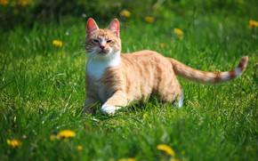 Картинка кот, природа, рыжий