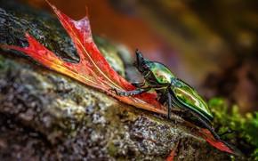 Картинка макро, природа, зеленый, фон, камень, листок, жук, насекомое, блестящий