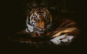 Картинка взгляд, тигр, дикая кошка, тёмный фон