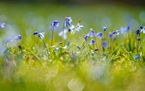 Картинка свет, цветы, поляна, весна, голубые, первоцветы, боке, хиондокса