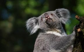 Картинка взгляд, морда, темный фон, портрет, боке, коала, сучок, мишка коала
