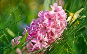 Картинка трава, капли, макро, розовый, Гиацинт