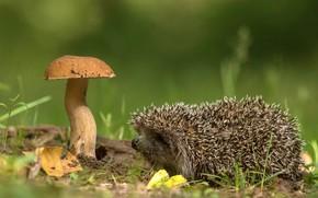 Картинка природа, гриб, ёжик, Андрей Киселёв