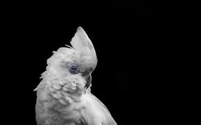 Картинка фон, птица, попугай