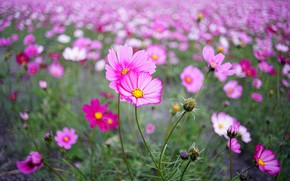 Картинка поле, лето, космос, цветы, фон, стебли, поляна, луг, розовые, цветение, много, боке, космея, космеи, цветочное