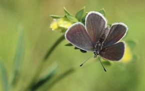 Картинка цветок, макро, зеленый, фон, бабочка, растение, насекомое, серая, крылышки