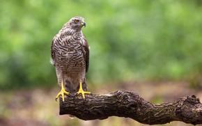 Картинка птица, хищник, ястреб-тетеревятник