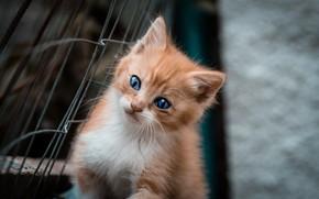 Картинка котенок, голубые глаза, рыжий цвет, Fabio Grandis