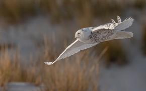 Картинка полет, сова, птица, белая, полярная сова