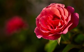 Картинка цветок, зеленый, фон, роза, лепестки, красная, боке