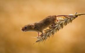 Картинка мышь, колосок, малютка