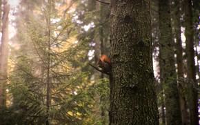 Картинка лес, свет, деревья, дерево, стволы, ель, белка, сосна, боке