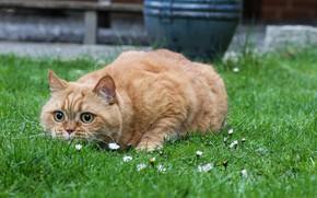 Картинка британская парода, в траве, рыжий кот, притаился