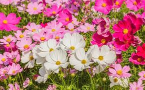 Картинка поле, лето, цветы, colorful, луг, summer, розовые, white, белые, field, pink, flowers, cosmos, meadow