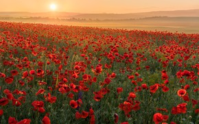 Картинка поле, цветы, маки, маковое поле