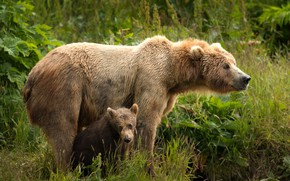 Обои зелень, лето, трава, взгляд, листья, природа, поза, малыш, медведь, пара, медвежонок, парочка, два, морды, дитя, ...