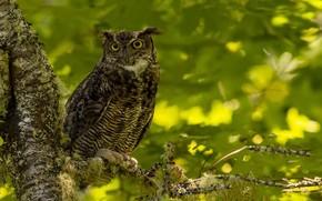 Картинка природа, птица, Виргинский филин