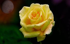 Картинка ночь, роза, планета