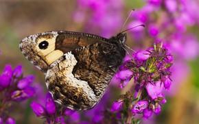 Картинка макро, цветы, бабочка, розовые, вереск