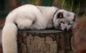 Картинка поза, серый, фон, пень, сон, спит, хвост, лежит, песец, закрытые глаза