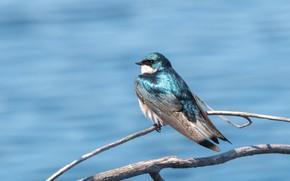 Картинка птица, ветка, ласточка