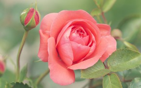 Картинка цветок, листья, розовая, роза, бутон, лососевая