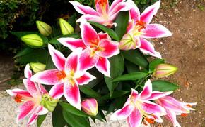 Картинка цветы, лилии, розовые лилии