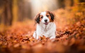 Картинка осень, язык, взгляд, листья, природа, улыбка, парк, фон, листва, собака, рыжая, мордашка, боке, коикерхондье