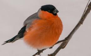 Картинка зима, макро, птица, снегирь