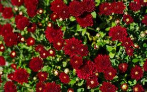Картинка листья, цветы, яркие, сад, красные, алые, хризантемы, много
