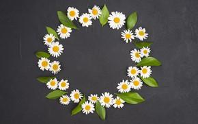 Картинка листья, цветы, ромашки, круг, черный фон, flowers, camomile