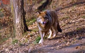 Картинка лес, язык, взгляд, волк, прогулка