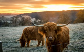 Картинка поле, морда, корова, коровы, пастбище, ограждение, быки, бык, шотландская корова, шотландский бык