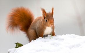 Картинка зима, снег, природа, поза, белка