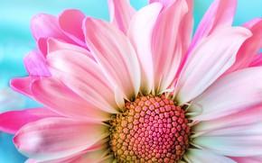 Картинка макро, фон, розовый, flower, pink, background, daisy, маргаритка