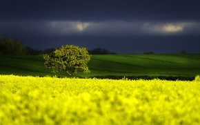 Картинка Nature, Tree, Storm, Field, Colza