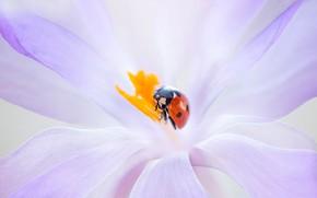 Картинка цветок, макро, красный, фон, сиреневый, божья коровка, жук, размытие, весна, насекомое, крокус, жучок