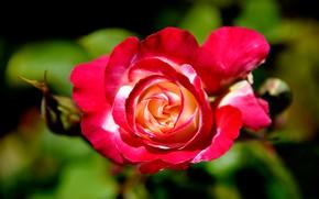 Картинка крупный план, роза, лепестки, бутоны, боке, яркая