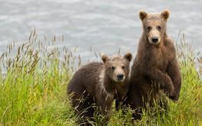Картинка трава, взгляд, поза, река, берег, лапы, медведи, пара, медвежонок, малыши, медвежата, парочка, дуэт, мишки, два, …