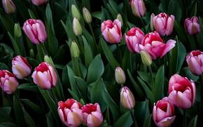 Картинка листья, темный фон, тюльпаны, розовые, бутоны