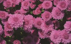 Картинка цветы, куст, розовые, хризантемы, много