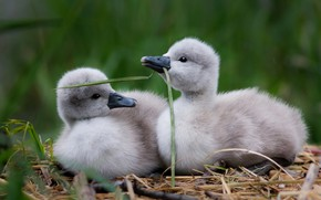Картинка трава, птицы, природа, гнездо, пара, малыши, парочка, дуэт, лебеди, два, птенцы, зеленый фон, лебедята, лебеденок, …