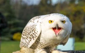 Картинка природа, сова, птица, белая, полярная сова