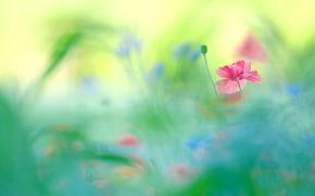 Картинка цветок, цветы, фон, краски, мак, маки