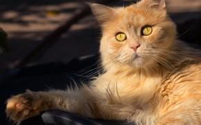 Картинка кошка, свет, портрет, лапы, тени, рыжая