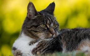 Картинка кошка, кот, взгляд, морда, желтый, серый, фон, портрет, лежит, полосатый, боке