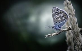 Картинка макро, фон, бабочка, колос, Голубянка икар