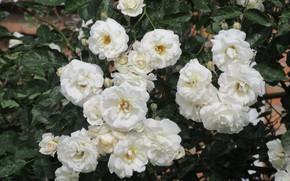 Картинка цветы, розы, белые, 2018, Meduzanol ©