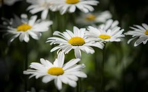 Картинка цветы, темный фон, поляна, ромашки, белые, боке, нивяник